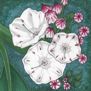 Mountain Laurel illustration