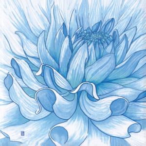 Dahlia flower illustration