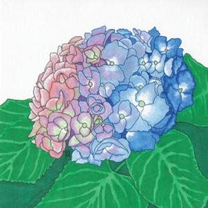 Hydrangea flower illustration