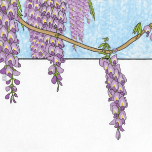 Wisteria flower illustration